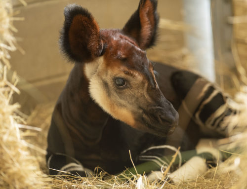 Walt Disney World Resort Celebrates World Okapi Day with Newborn Calf