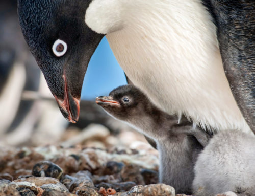 Disneynature Penguins First Week Sales Help Wildlife Conservation Network Protect Penguins Around the Globe
